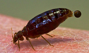 Bed Bug Signs