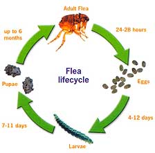 Biology and Habits of Fleas