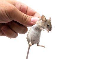 Eliminating House Mice