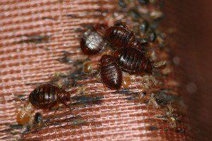house bed bug infestation