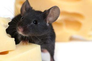reliable mice exterminator